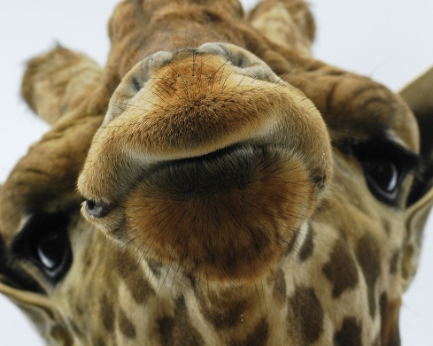 Help us make One Million Giraffes
